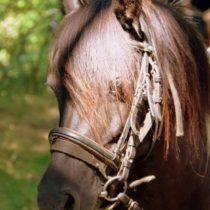 élevage de poneys te de chevaux sur place pour randonnées